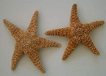 Large Sugar Starfish 10-12