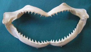Small Shark Jaw 9-10""